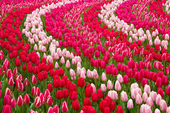 Champ des tulipes Photographie stock