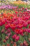 Champ des tulipes Photographie stock