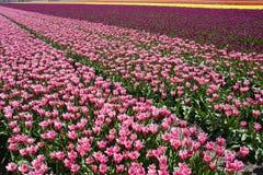 Champ des tulipes Photo stock