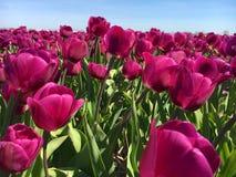 Champ des tulipes Images libres de droits