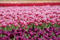 Champ des tulipes Image stock