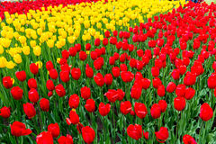 Champ des tulipes images stock