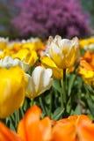 Champ des tulipes colorées au soleil Image libre de droits