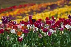 Champ des tulipes dans Haymarket, la Virginie Image libre de droits
