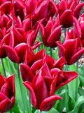 Champ des tulipes durables de floraison d'amour Photographie stock