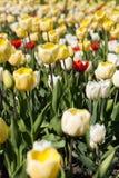 Champ des tulipes en été Image stock