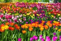 Champ des tulipes en gros plan avec le bokeh Photographie stock libre de droits