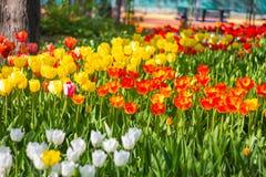 Champ des tulipes en gros plan avec le bokeh Image stock