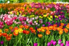 Champ des tulipes en gros plan avec le bokeh Images libres de droits