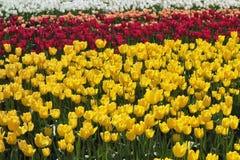 Champ des tulipes en jaune, rouge, blanc, et la pêche Photographie stock