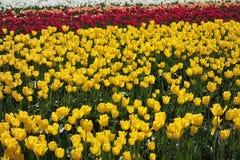 Champ des tulipes en jaune, rouge, blanc, et la pêche Photo stock