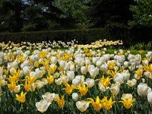 Champ des tulipes et des jonquilles Photographie stock