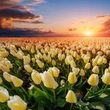 Champ des tulipes jaunes au coucher du soleil Photos stock