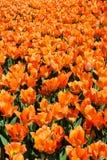 Champ des tulipes oranges V images libres de droits