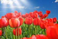 Champ des tulipes rouges avec le ciel bleu Photographie stock libre de droits