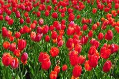 Champ des tulipes rouges en pleine floraison Image libre de droits