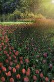 Champ des tulipes rouges et de partir ultra-violet pour les bois photographie stock libre de droits