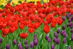 Champ des tulipes rouges, jaunes et pourpres Image libre de droits