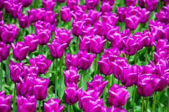 Champ des tulipes violettes photo stock