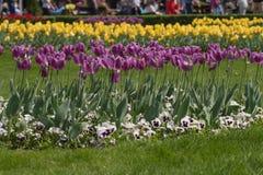 Champ des tulipes violettes Tulipes violettes fra?ches photo stock