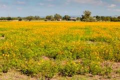 Champ des wildflowers jaunes et oranges Photo stock