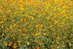 Champ des wildflowers jaunes et oranges Images stock