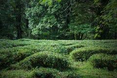 Champ du nord de thé de Krasnodar dans la forêt Photographie stock libre de droits