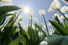 Champ ensoleillé de tulipe avec les tulipes blanches images stock