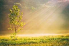 Champ et arbre d'herbe d'été au soleil, backgroun d'or de nature Photos libres de droits