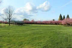 Arbre nu et arbres de champ vert complètement des fleurs roses Image stock