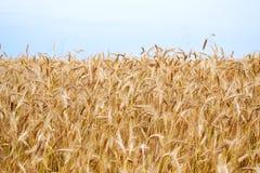 Champ et bleu de blé d'or Photo stock