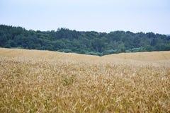 Champ et bleu de blé d'or Photos libres de droits