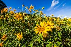 Champ et ciel de diversifolia de Tithonia comme fond image stock