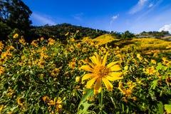 Champ et ciel de diversifolia de Tithonia, qui comme fond image libre de droits