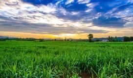 Champ et ciel de maïs avec de beaux nuages Photos stock
