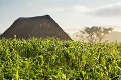 Champ et dessiccateur de tabac dans la vallée Cuba de Vinales image stock