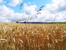 Champ et lavande de blé classés images libres de droits