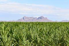 Champ et montagnes de maïs Image stock