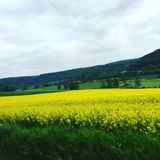 Champ jaune Photographie stock libre de droits