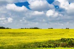 Champ jaune et cumulus blancs contre le ciel bleu images libres de droits