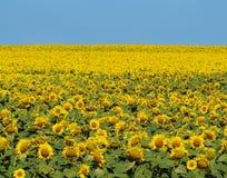 Champ jaune lumineux des tournesols et du ciel bleu d'espace libre Photos libres de droits