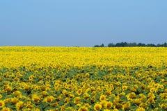 Champ jaune lumineux des tournesols et du ciel bleu d'espace libre Photo libre de droits