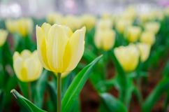 Champ jaune pâle de tulipes photographie stock libre de droits