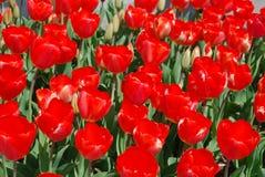 Champ magnifique des tulipes rouges de floraison dans un jardin Photo libre de droits