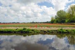 Champ néerlandais d'ampoule dans Lisse Photo libre de droits