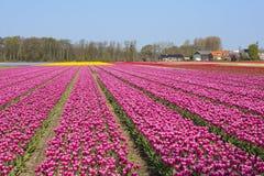 Champ néerlandais traditionnel de tulipe avec des rangées des fleurs et des fermes roses à l'arrière-plan image stock
