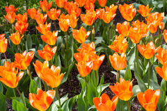 Champ orange de tulipe Photos stock