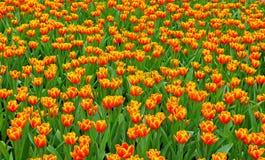 Champ orange de tulipes Image libre de droits