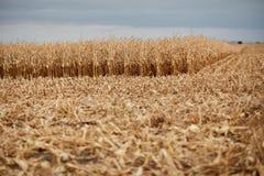 Champ partiellement moissonné de maïs ou de maïs Photographie stock libre de droits