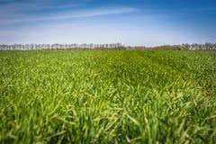 Champ plat de jeune blé contre le ciel bleu image libre de droits